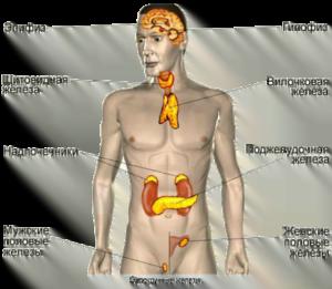 Эндокринная система. Гормональный фон женщины в период предменопаузы и в менопаузе